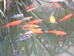 Gold Fish in the Dixies pond